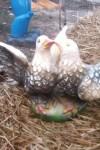 İkili Güvercin Heykeli