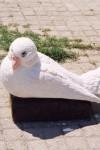 Güvercin Heykeli