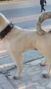 Kangal Köpeği Heykelleri